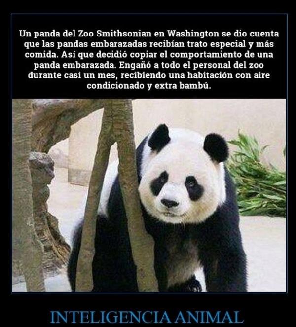 Panda inteligente
